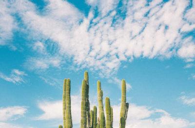 cacti plant